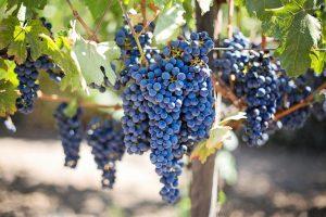 Grappe-vin